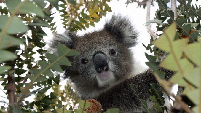 koalabär im baum